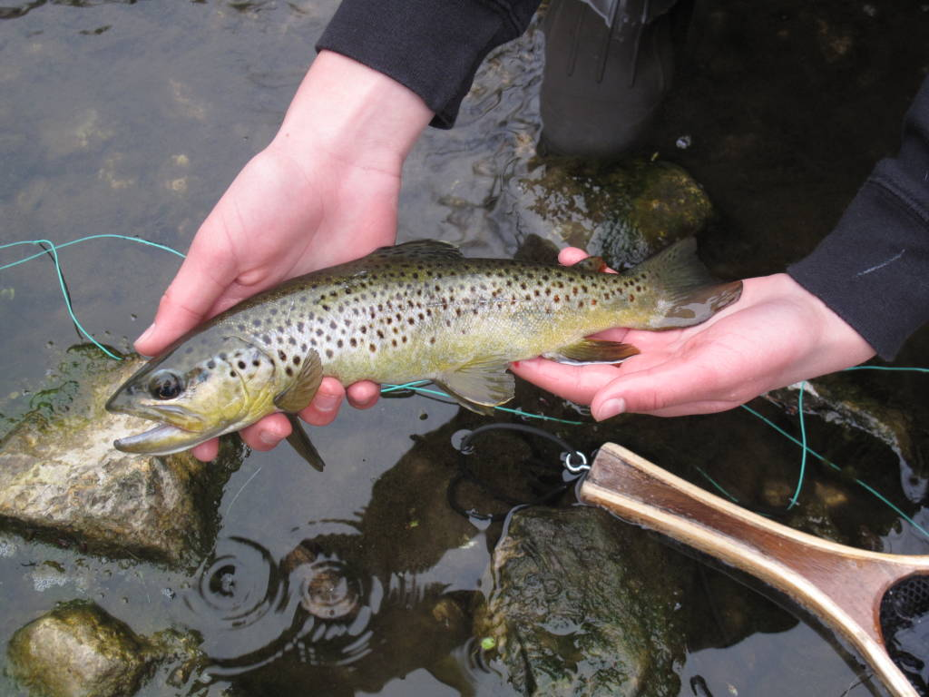 Brown that took an Ausable Bomber