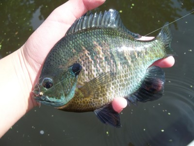 slab bluegill on the fly mn
