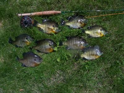 bluegill dinner fly fishing