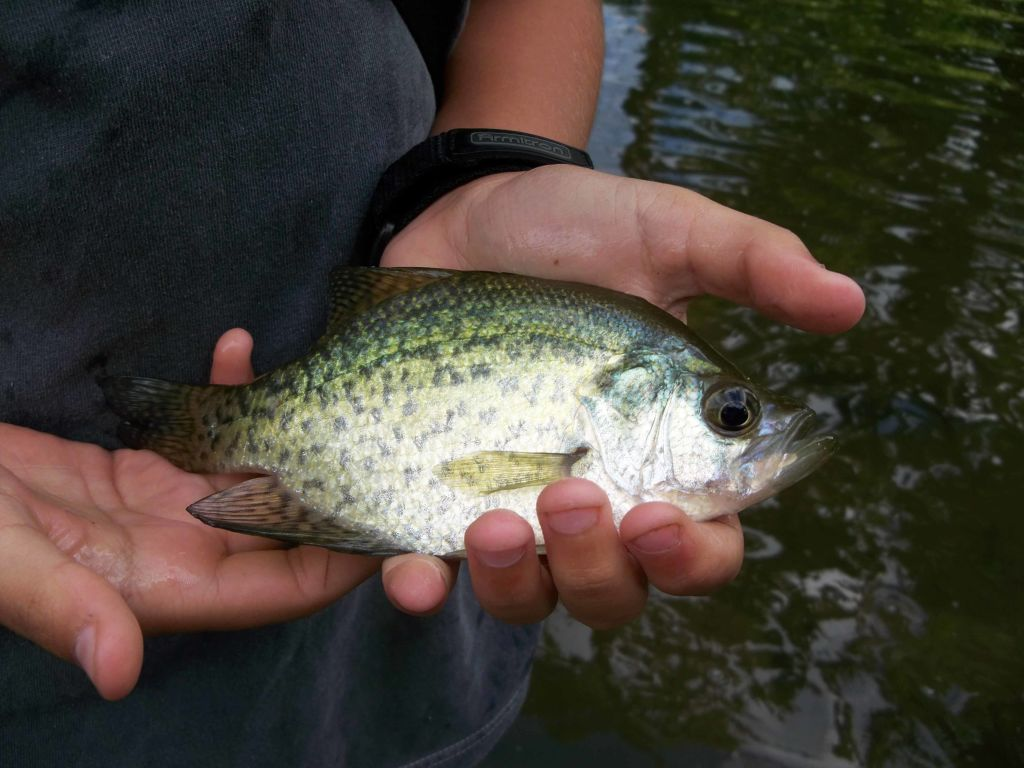 Crappie from the north fork of the crow river.