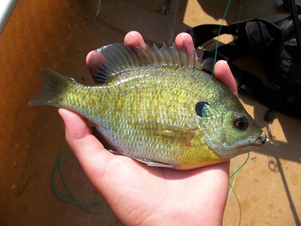 Fly fishing for bluegills 3 brothers flies for Fly fishing for bluegill