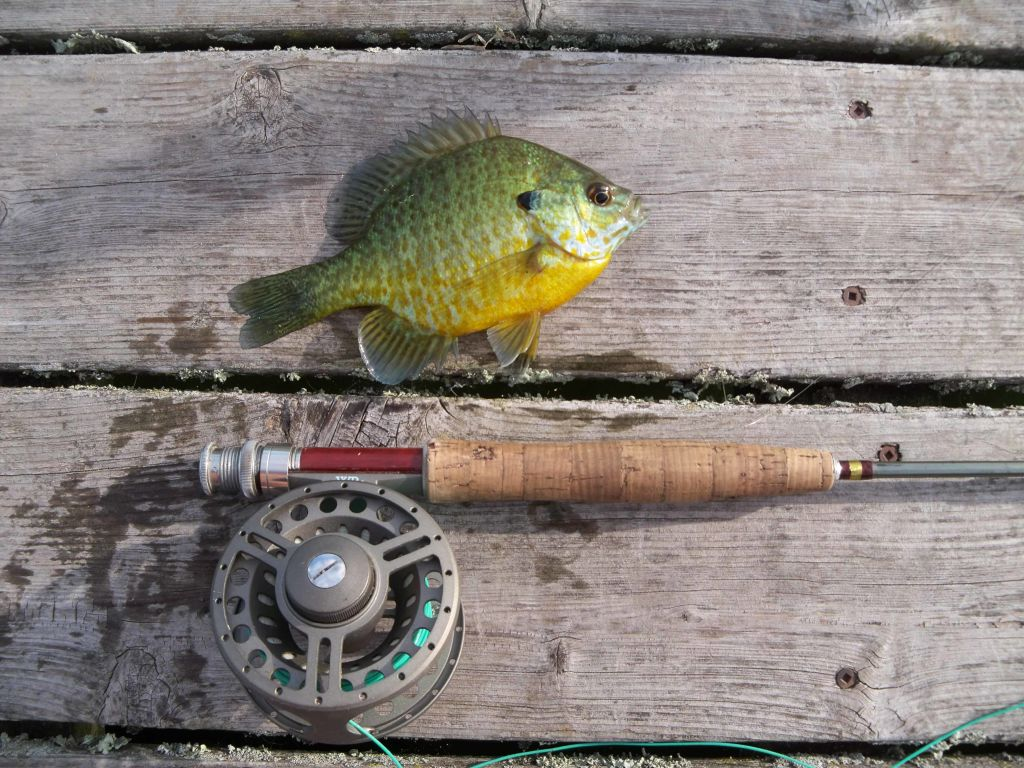 sunfish on the fly in northern Wisconsin