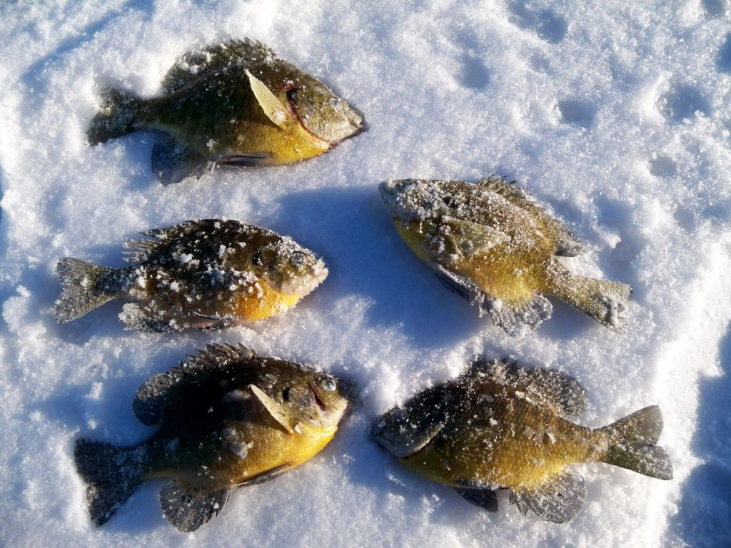 Pile of bluegills caught with 3 brothers flies ice flies for Ice fishing flies