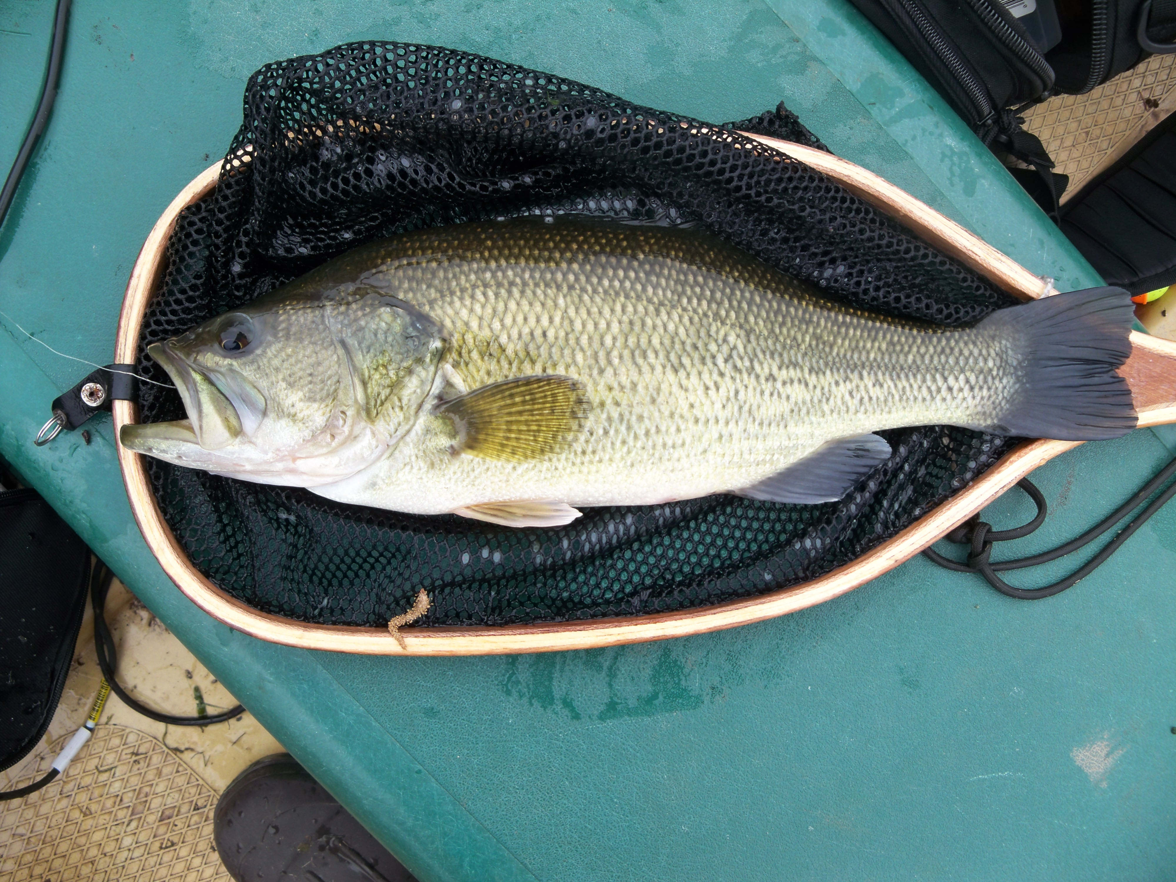 Fat minnesota largemouth bass that nailed a 3 brothers for Best jig for bass fishing