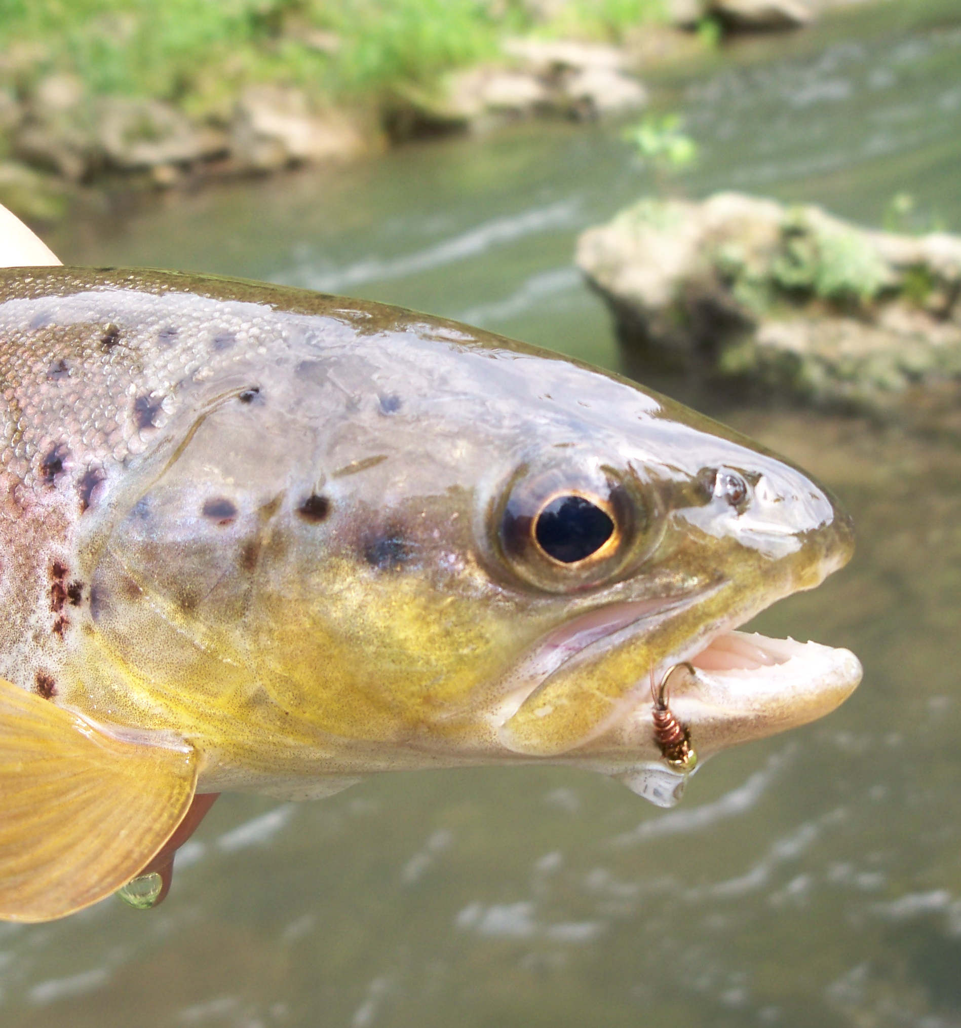 Driftless brown trout on a frenchie ptn