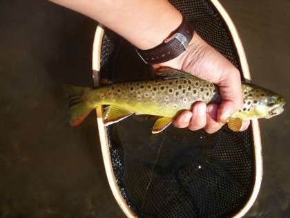 Braden got this Driftless brown on a micro tubing mayfly nymph