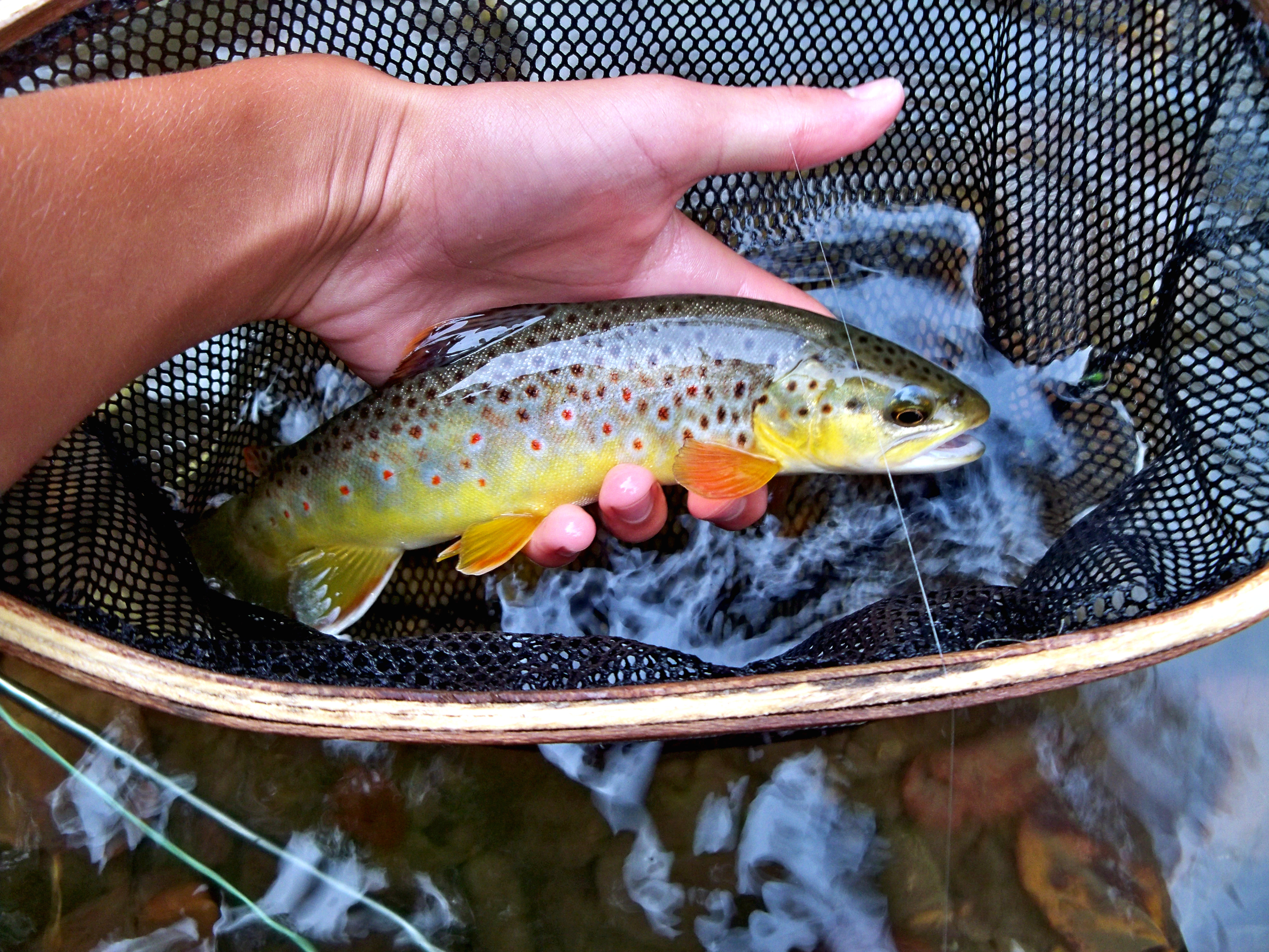 South Branch Root River wild brown with some great colors