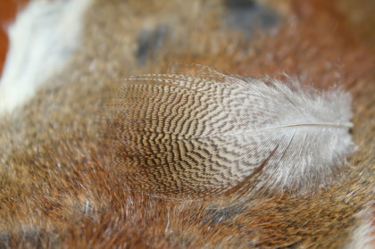 lemon wood duck feather