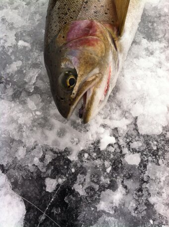 A slab rainbow that fell for a 'Gill Shrimp (Photo credit: Kevin Jones from Idaho Pursuit)