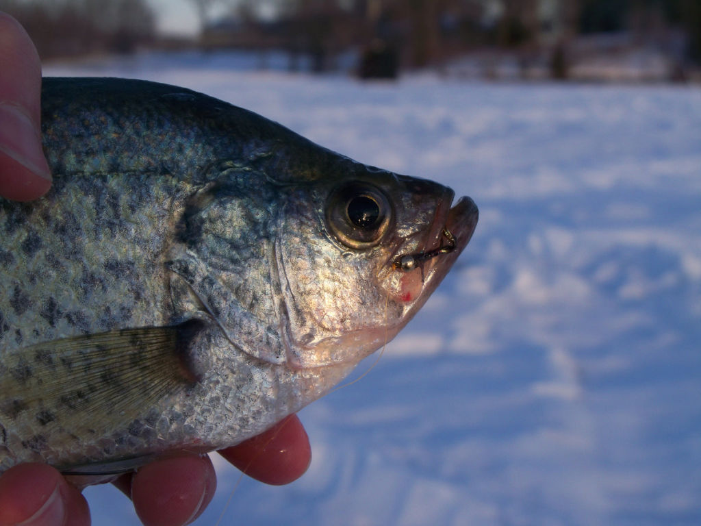 Fooled this crappie with a TUNGSTEN Slab Spike ice fly