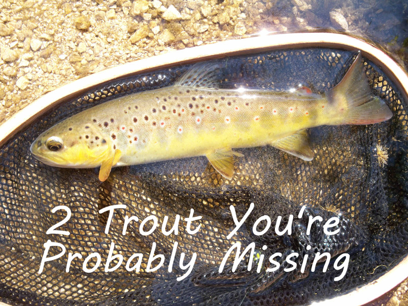 2 Trout You're Probably Missing - a few tips on targeting trout in skinny water and streamer fishing in high, muddy conditions